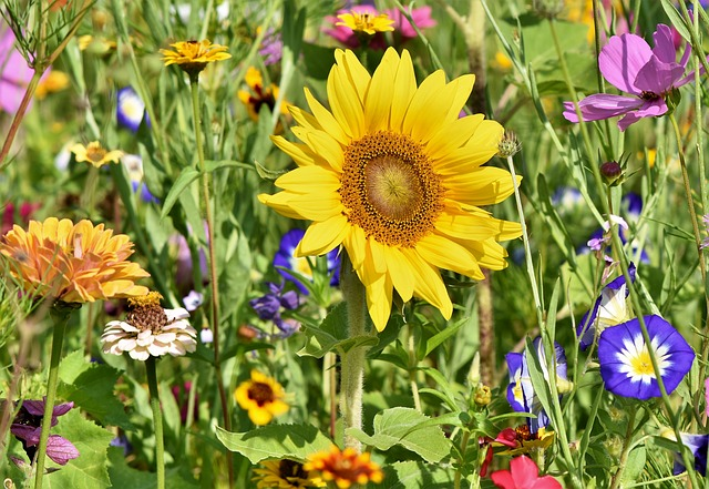 Sunflower 3696960 640